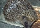 A Hedgehog at Dusk